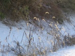 CHT foxtails, Dec10 (30%).jpg