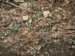 Snow Drops, the first signs of Spring